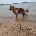 Hunde på stranden