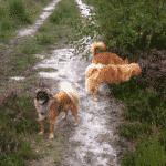Hundeskov i Ølgryde Plantage ved Holstebro