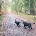 Femhøjsande Plantage Hundeskov ved Ringkøbing